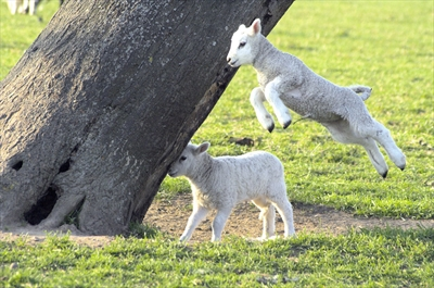 Lambs jumping for joy