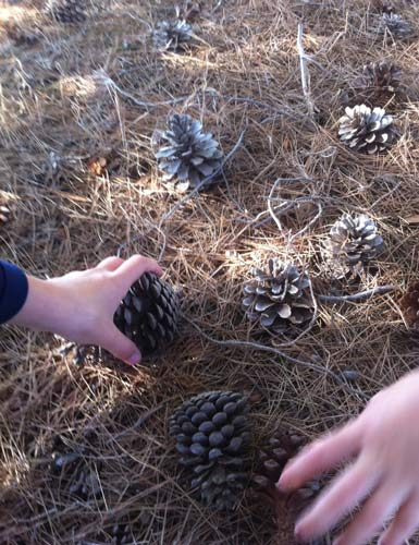 CollectingPineCones